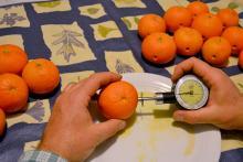 Consistenza dei frutti